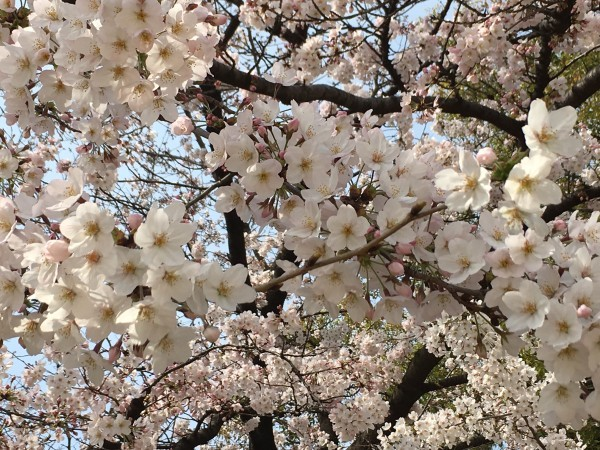 花田公園の桜